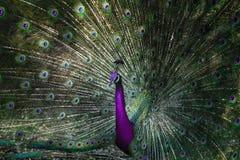关闭与尾巴的美好的虚幻的颜色的印地安孔雀 免版税库存图片