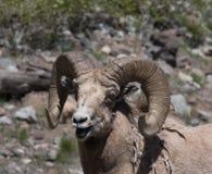 关闭与开放它的嘴的一只大角野绵羊 免版税图库摄影