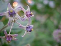关闭与弄脏对紫色巨型印地安乳草,硕大 库存照片