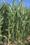 关闭与是几乎成熟的并且有黏附在他们外面的玉米丝绸的玉米穗的玉米茎玉米,玉蜀黍属5月 免版税图库摄影