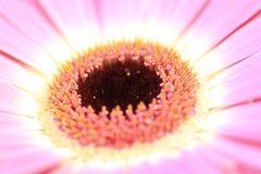关闭与棕色心脏的一朵桃红色大丁草花 免版税库存照片