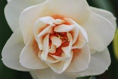 关闭与橙色心脏的一棵白色水仙 免版税库存照片