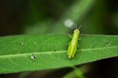 关闭与水下落的一只蚂蚱在绿色叶子 免版税库存照片