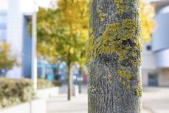 关闭与生长在它的在澳大利亚的吠声的地衣的一个树干 免版税库存图片