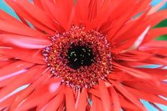 关闭与白色红色和黄色雄芯花蕊的一根红色大丁草在t 库存照片