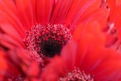 关闭与白色雄芯花蕊的一根红色大丁草在心脏 免版税库存照片