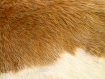 关闭与白色细节的淡黄棕色的被剥皮的山羊毛皮 免版税库存图片