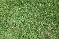 关闭与白色Florals的被隔绝的绿草 免版税库存图片