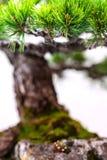 关闭与绿色针的一棵杉木盆景树 免版税库存照片