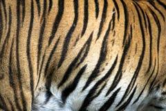 关闭与美丽的条纹毛皮的大似猫的不可靠的马来亚老虎 免版税图库摄影
