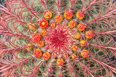 关闭与花的亚利桑那桶式仙人掌球状仙人掌wislizeni 免版税库存图片