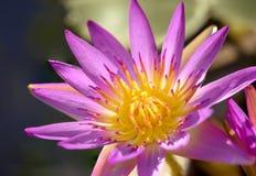 关闭与花粉美好的颜色的莲花 库存照片