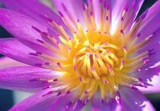 关闭与花粉美好的颜色的莲花 图库摄影