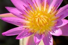关闭与花粉美好的颜色的莲花 免版税库存照片