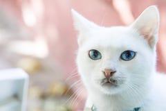 关闭与蓝眼睛的一只白色猫 软绵绵地集中 免版税图库摄影