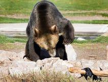 关闭与被举的爪子的北美灰熊 库存照片