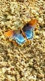 关闭与被撕毁的翼的黑脉金斑蝶坐叶子在阳光下 库存照片
