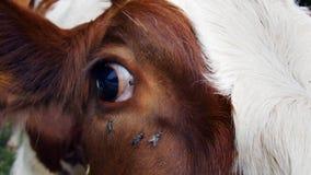 关闭与许多使困恼的飞行的一只母牛眼睛 免版税库存照片