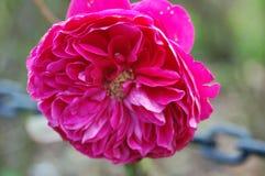 关闭与许多瓣的大桃红色花 库存照片