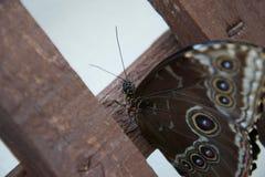 关闭与许多美丽的装饰眼睛的棕色蝴蝶 库存照片
