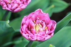 关闭与里面许多雄芯花蕊的桃红色郁金香 图库摄影