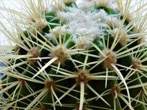 关闭与长的白色脊椎的Mammillaria仙人掌 库存照片