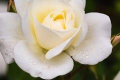 关闭与雨下落的一朵白色玫瑰 免版税图库摄影