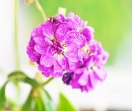 关闭与雨珠-春天自然的开花的湿紫色花 免版税库存图片