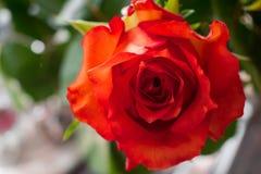 关闭与露天场所的一朵玫瑰到左边 免版税库存照片