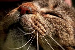 关闭与颊须的家猫的嘴,当被抚摸时 免版税库存照片