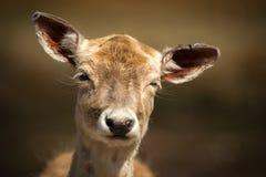 关闭与滑稽的表示的逗人喜爱,幼小小鹿 免版税库存图片