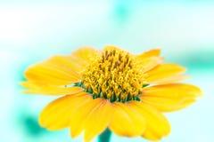 关闭与ligh蓝色背景口气的黄色花 免版税库存照片