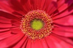 关闭与limegreen heartand桃红色的一朵桃红色大丁草花 库存照片