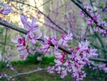 关闭东部redbud花开花在早期的春天 免版税库存图片