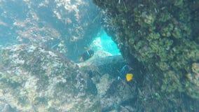 关闭两位国王神仙鱼在isla埃斯帕诺拉在加拉帕戈斯 股票录像