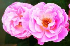 关闭两朵桃红色花 库存照片