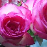 关闭两朵美丽的明亮的桃红色玫瑰细节  免版税库存图片