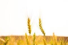 关闭两粒大麦种田 库存图片