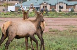关闭两头幼小鹿,黄石公园, WY,美国 图库摄影