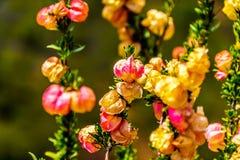 关闭中国灯笼树花在西开普省省的小的南部非洲的干旱台地高原地区 库存图片
