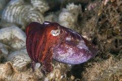 关闭乌贼的图象有珊瑚礁背景 免版税库存图片