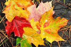 关闭五颜六色的叶子槭树  免版税库存图片