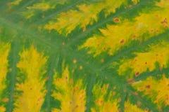 关闭五颜六色的叶子细平面海绵体或Cocoyam与叶子样式细节,芋esculenta var aquatilis Hassk 免版税库存照片