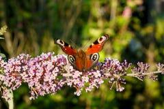 关闭五颜六色的得到花蜜的aglais欧洲孔雀从桃红色蝴蝶灌木丛 浅深度的域 库存照片
