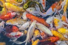 关闭五颜六色的日本人Koi鱼 库存照片