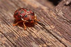 关闭五颜六色的瓢虫瓢虫科照片在木头bac的 免版税库存照片