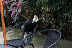 关闭五颜六色的船骨开帐单的toucan热带鸟在巴厘岛动物园公园,印度尼西亚 免版税图库摄影