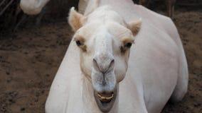 关闭他调查照相机并且嚼滑稽的骆驼的头 股票视频