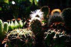 关闭仙人掌在有早晨自然光的庭院里 库存图片
