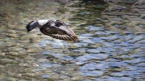 关闭任意飞行在海上的观点的一只灰色鸽子 图库摄影